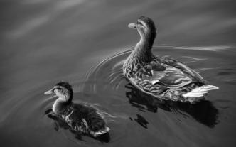 Not always ducky